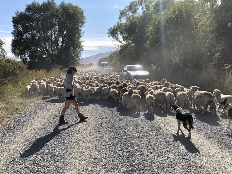 New Zealand traffic Jam on the Alps 2 Ocean cycle trail – Alps 2 Ocean/Great Southern Circuit